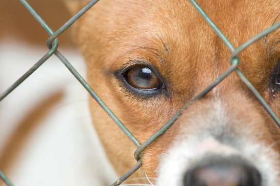 Chain Link Fence Dog