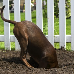 How do I stop my Dog from digging under the Fence?